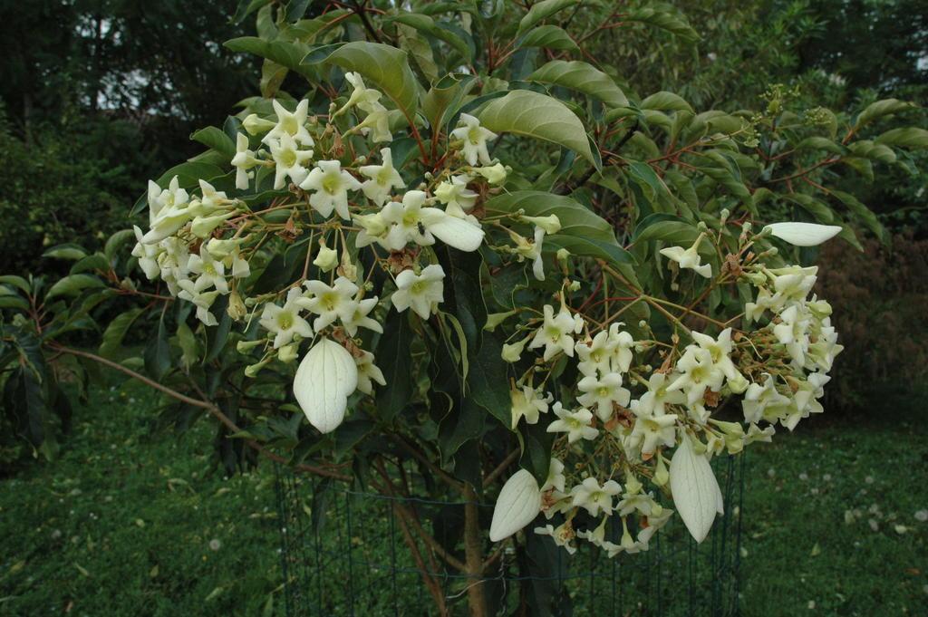Floraison emmenopterys henryi Web_em11