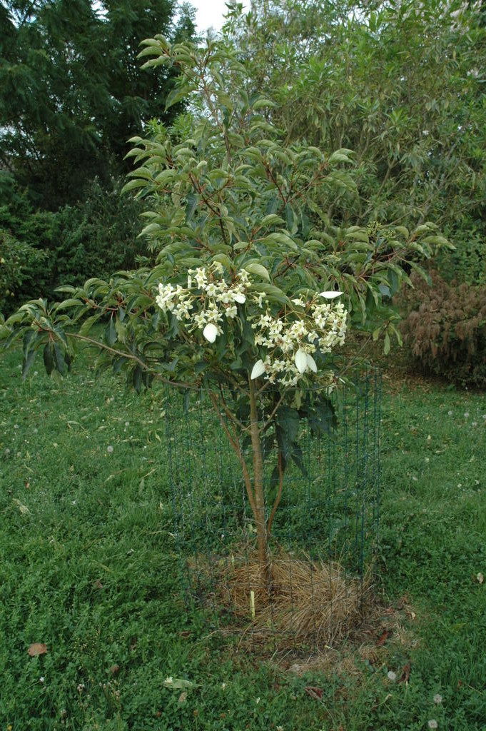 Floraison emmenopterys henryi Web_em13