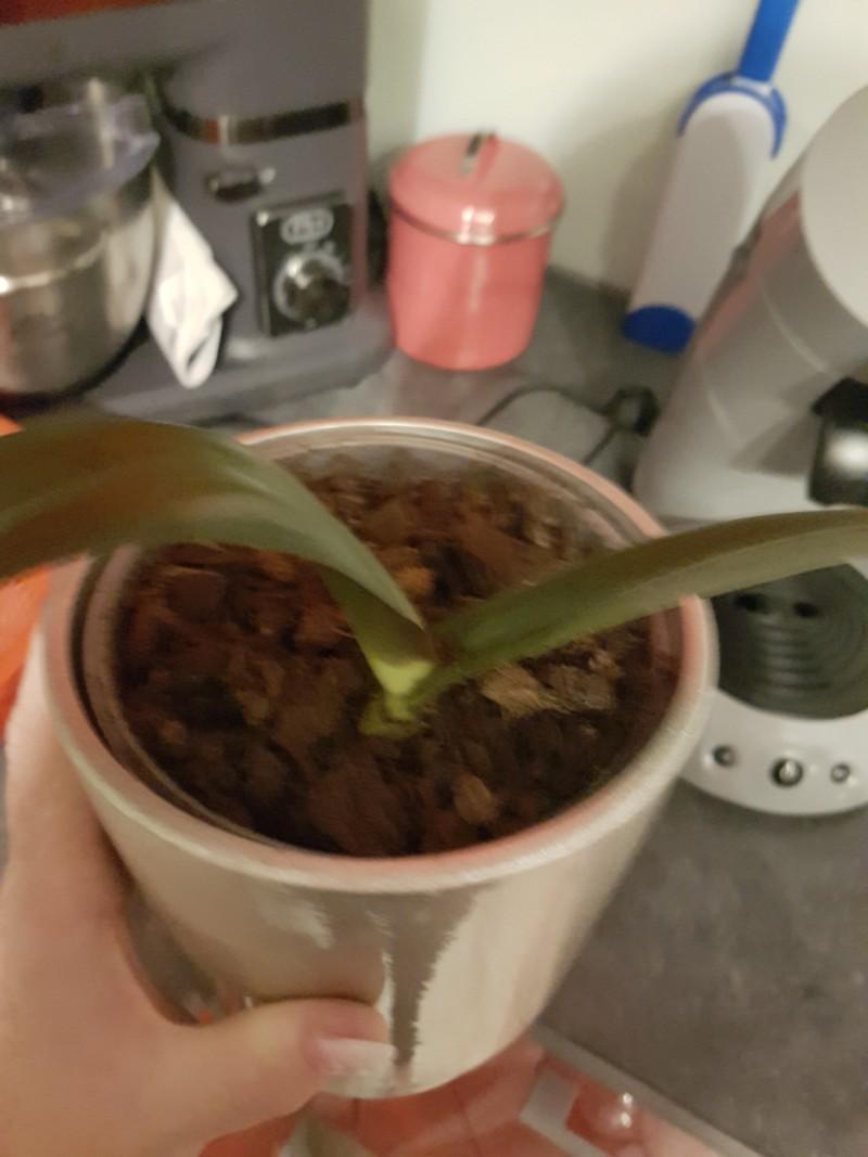 Phalaenopsis et Dendrobium 20180923