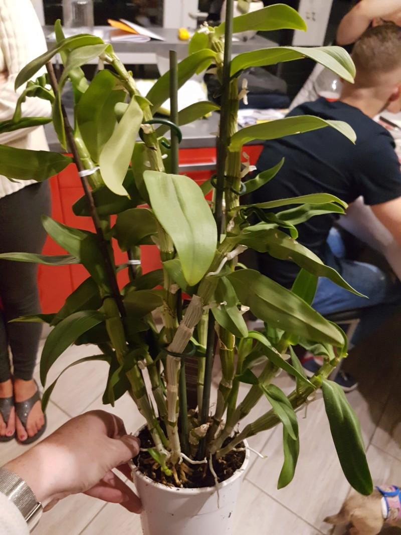 Phalaenopsis et Dendrobium 20180925