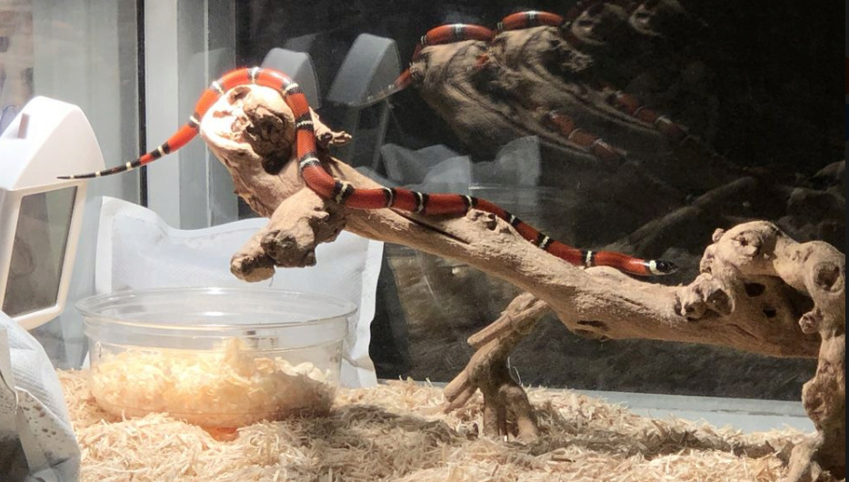 Comment transporter au mieux mon nouveau serpent Lampro10