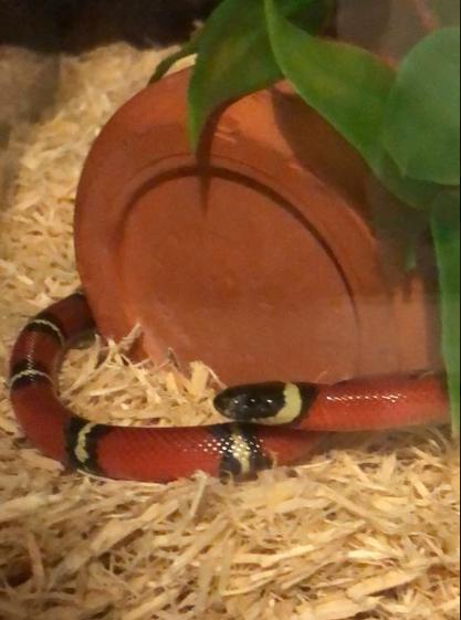 Comment transporter au mieux mon nouveau serpent Lampro11
