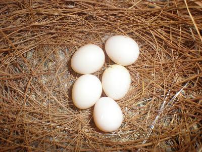 Trocando os ovos  Trocan10