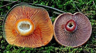 Identifier des champignons. Cs_et_10