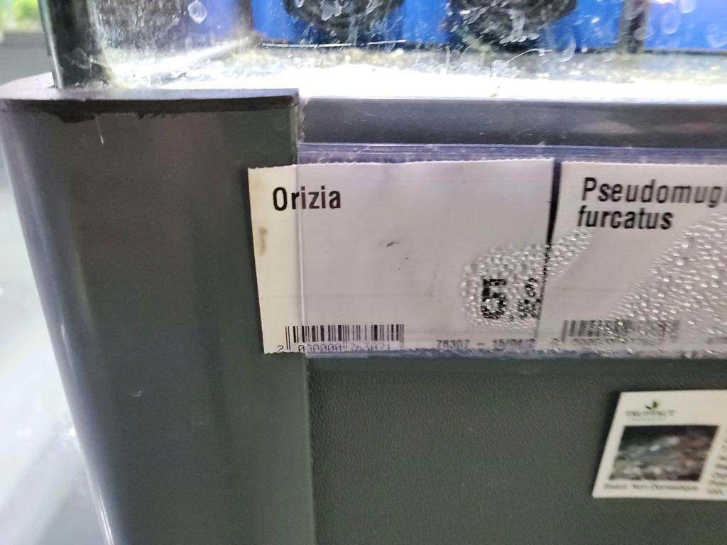 Oryzias Woworae 20200626