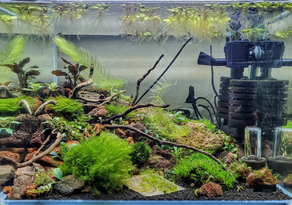 Plantes pour Aqua spécial crevettes 20201234