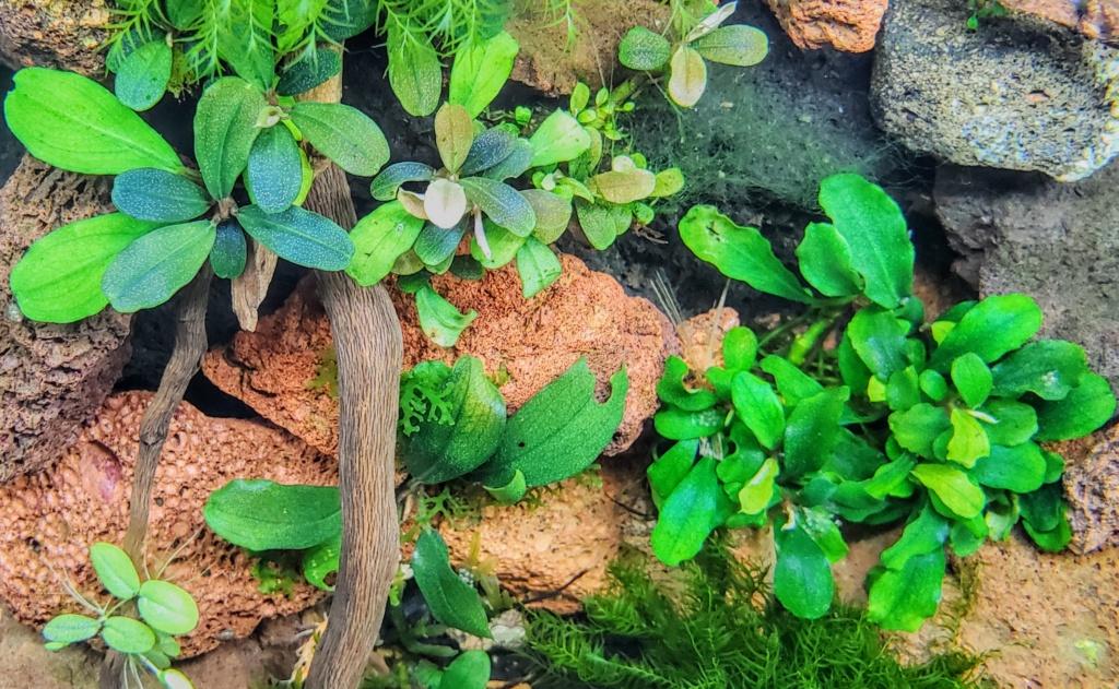 Petite introduction au monde des bucephalandras 20210212