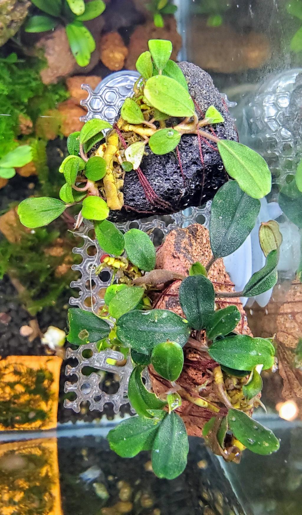 Petite introduction au monde des bucephalandras 20210216