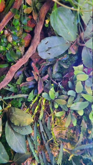 Petite introduction au monde des bucephalandras 20210410