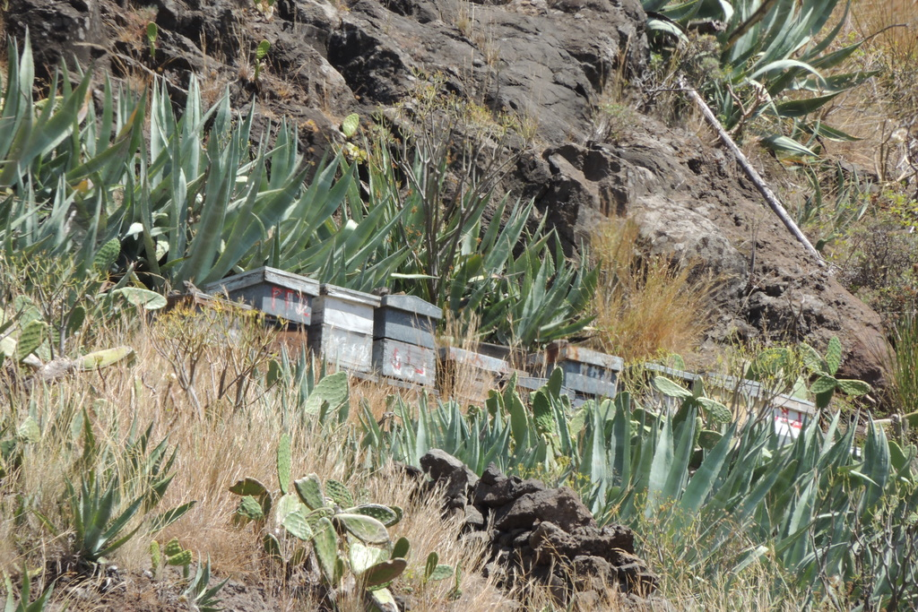Abeille noire de la Gomera (iles Canaries) Dscn0110