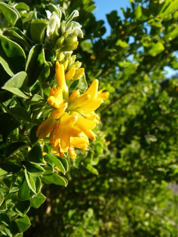 Identification fleurs jaunes P1190613