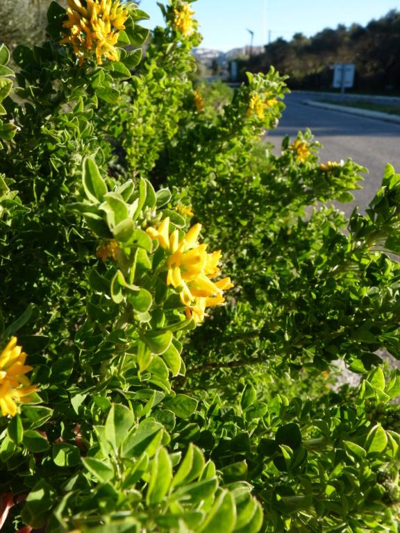 Identification fleurs jaunes P1190614