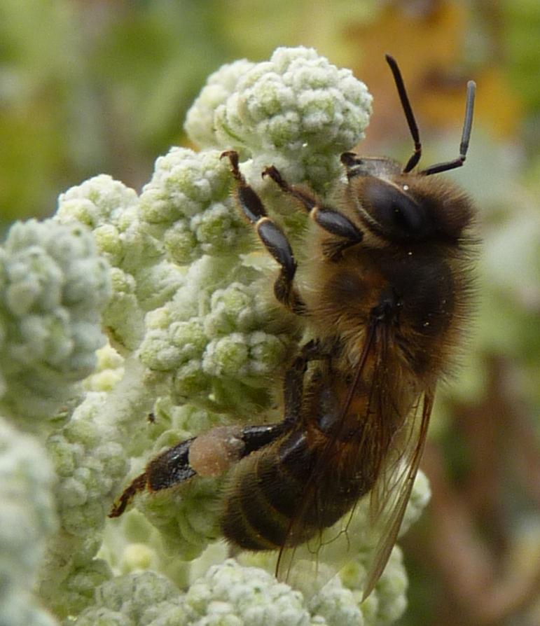 Photo (Photos) ou vidéo (vidéos) d'abeilles, de reines, faux bourdons, essaim, colonie sur cadre, etc... - Page 6 P1190712