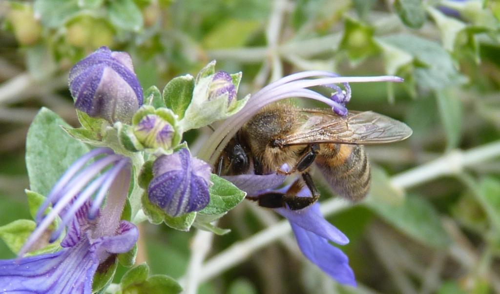 Photo (Photos) ou vidéo (vidéos) d'abeilles, de reines, faux bourdons, essaim, colonie sur cadre, etc... - Page 6 P1190713