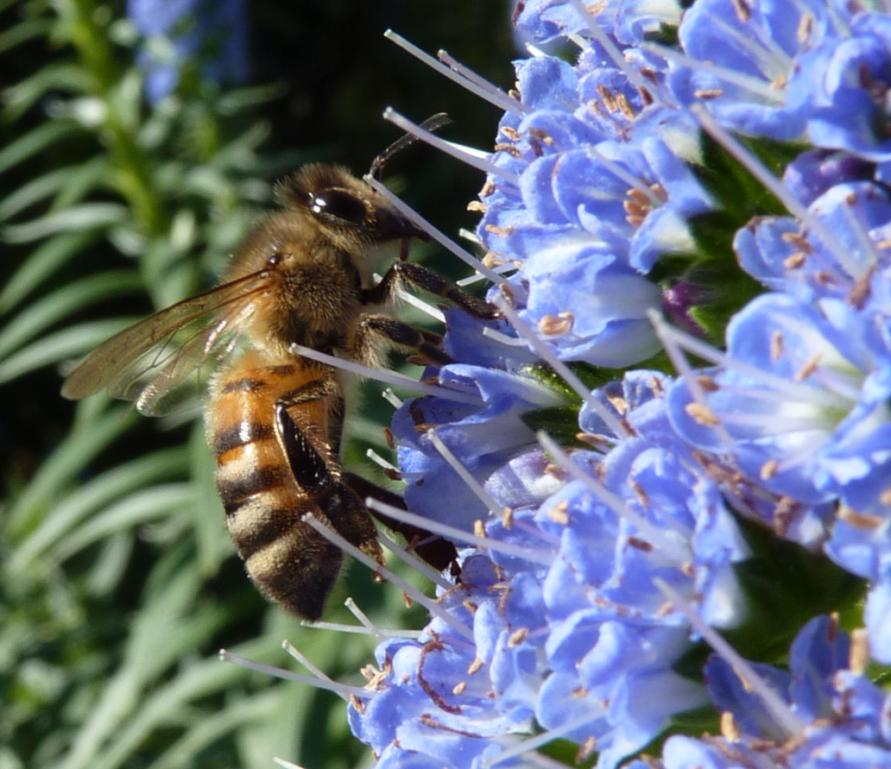 Photo (Photos) ou vidéo (vidéos) d'abeilles, de reines, faux bourdons, essaim, colonie sur cadre, etc... - Page 6 P1190811