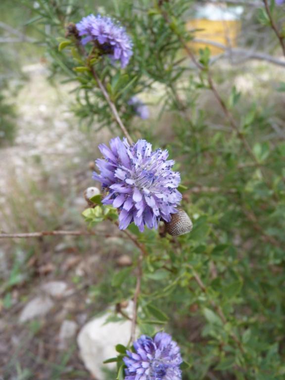 Identification fleur P1190813