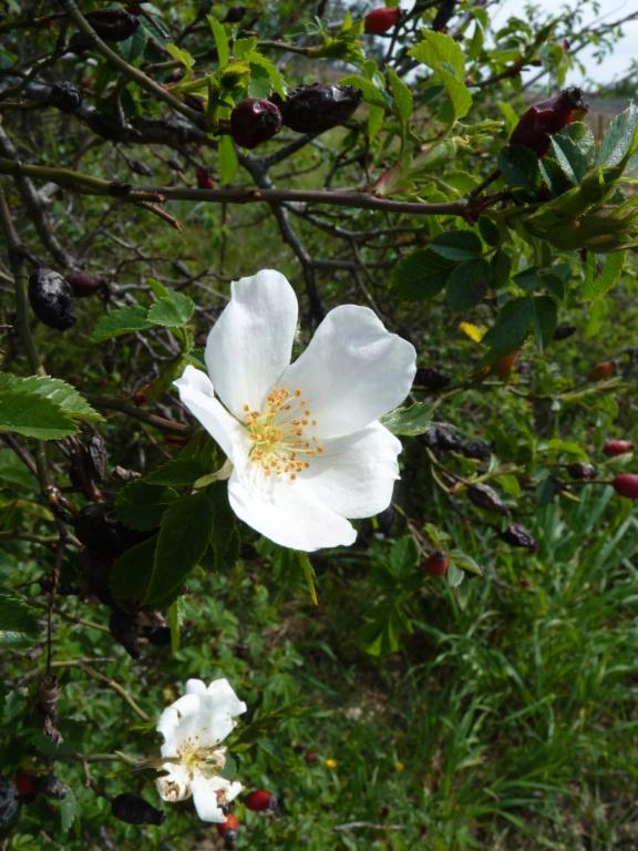 Fleur d'églantier P1190814
