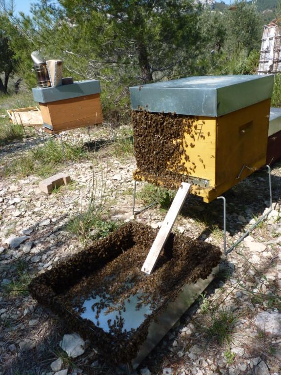 Disperser et réunir une ruche oprheline P1190817