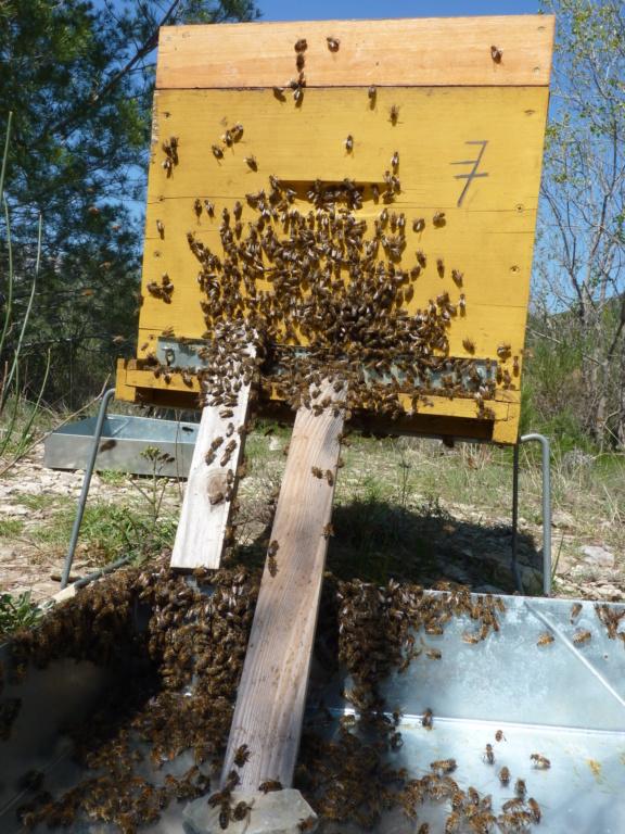 Disperser et réunir une ruche oprheline P1190818