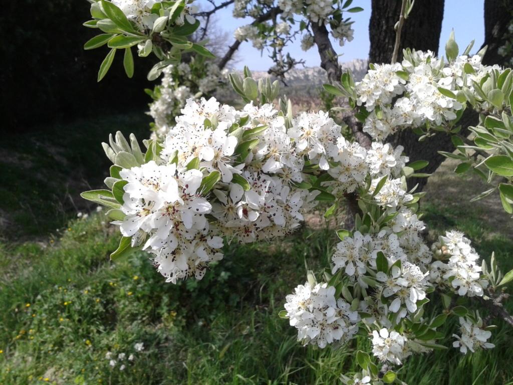 Floraison amandier Photo-20
