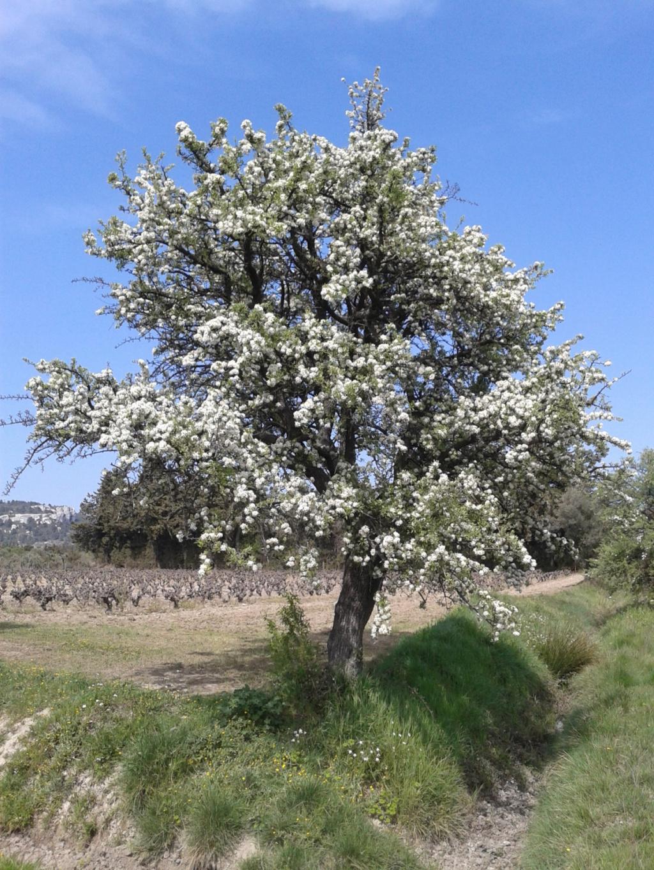 Floraison amandier Photo-21