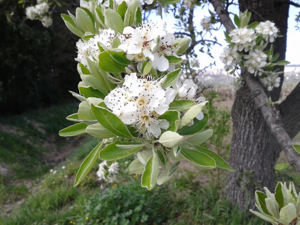 Floraison amandier Photo-29