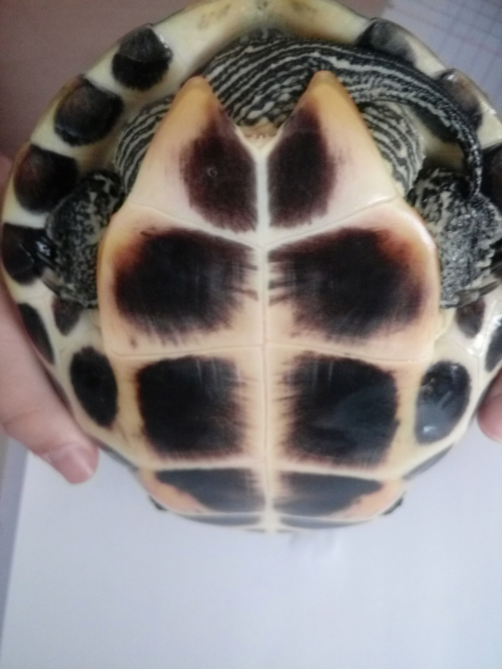 Tortues mauremys sinensis Tortue10