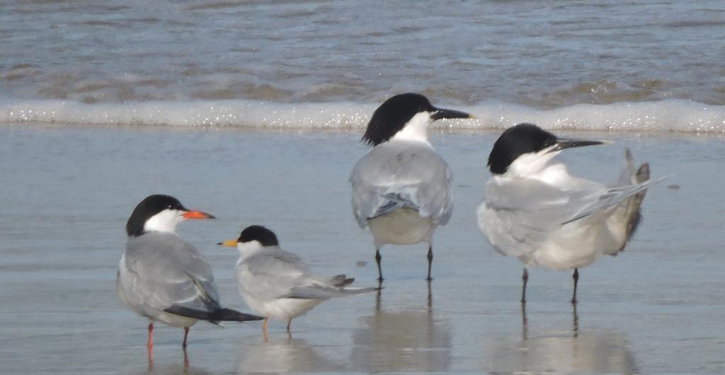 Fórum Aves - Birdwatching em Portugal - Portal Garaja10