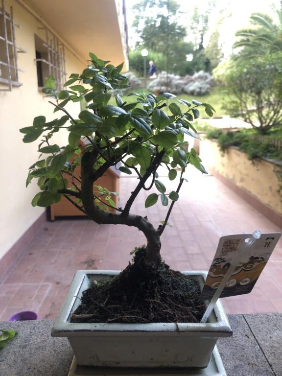 Il mio primo bonsai Image10