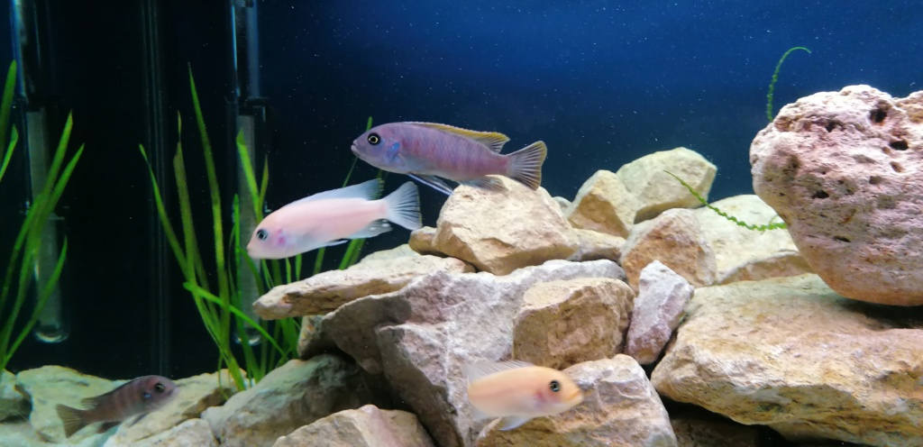 Projet Aquarium 240 litres Mbunas Img_2030