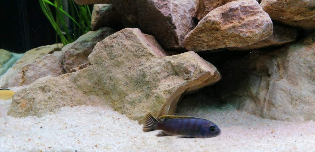 Projet Aquarium 240 litres Mbunas Img_2031