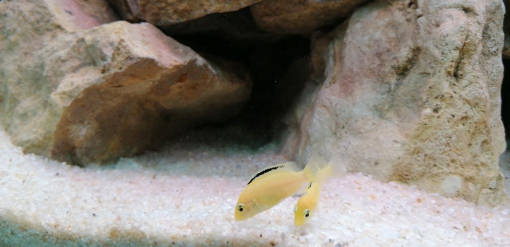 Projet Aquarium 240 litres Mbunas Img_2033