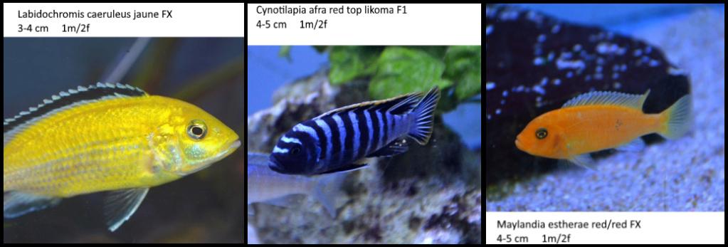 Projet Aquarium 240 litres Mbunas Mbunas12
