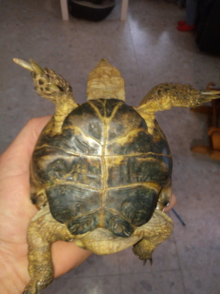 Présentation tortue des steppes  Img_2026