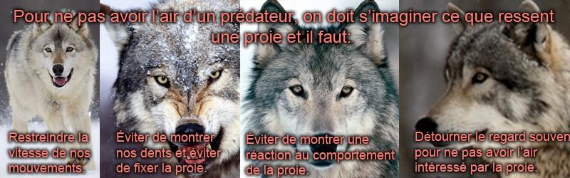 Apprivoisement 101 (2.0) Loup12