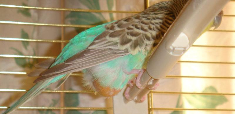 perruche verte et jaune male ou femelle Prolap12