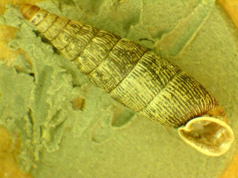 Clausiliidae ? Dscn1912
