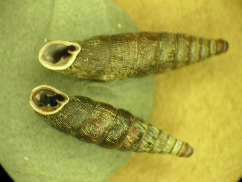 Clausiliidae ? Dscn1914