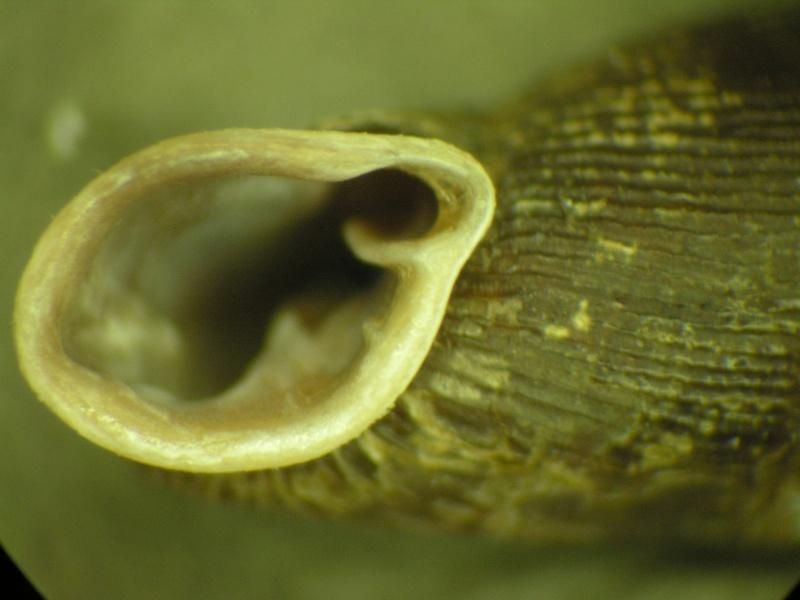 Clausiliidae ? Dscn1915