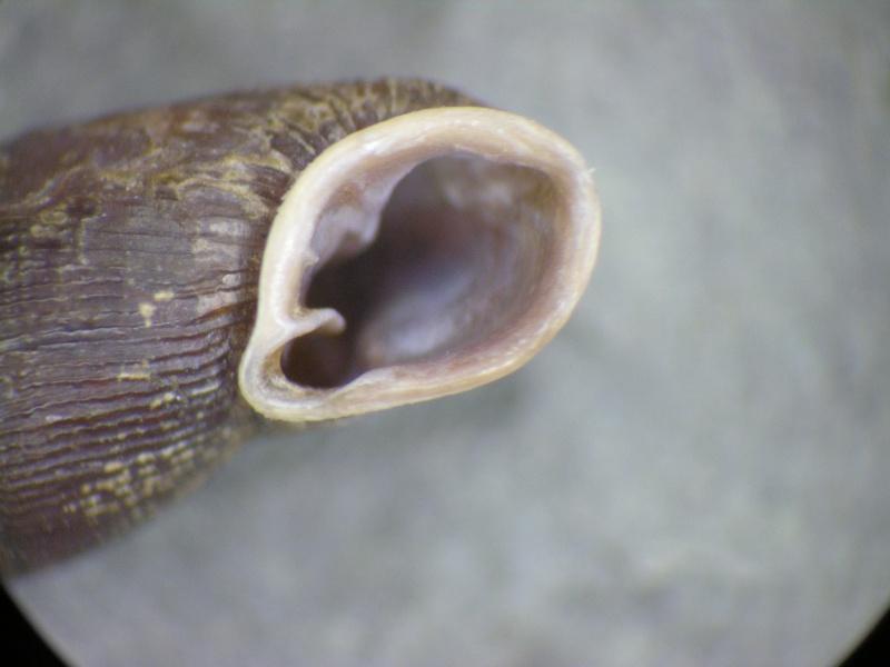 Clausiliidae ? Dscn1916