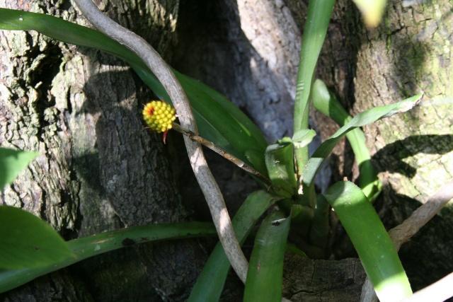 Aechmea calyculata Aechmn10