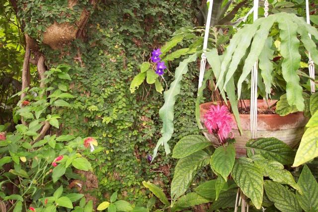 Streptocarpus ' Constant Nymph ' au naturel Autour10