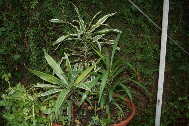 Philodendron et Dracaena en extérieur Coupe_18