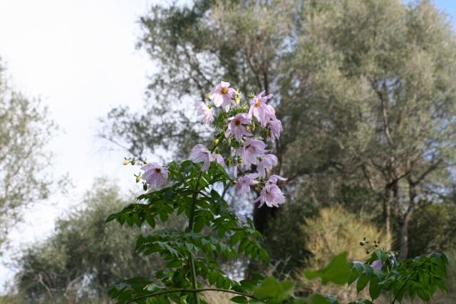 Dahlia imperialis Dahlia10