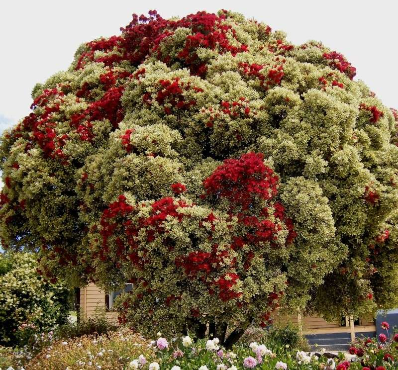 Superbe arbre photographié en Australie Dscf6610