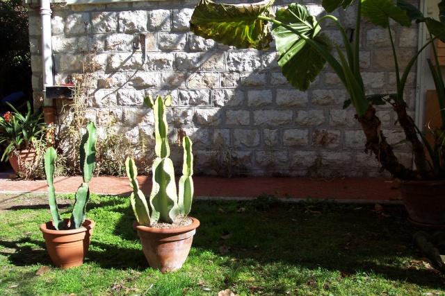 Euphorbia Ingens et Euphorbia candelabrum Euphor17