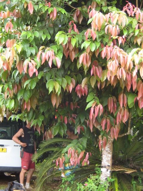 [Flacourtaceae] Flacourtia inermis ( Lovi lovi à Tahiti ) Flacou10