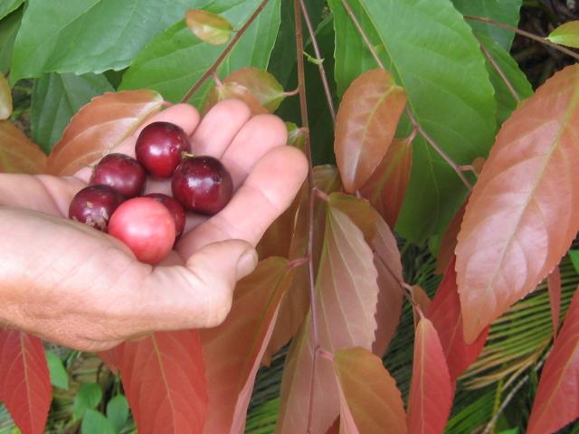 [Flacourtaceae] Flacourtia inermis ( Lovi lovi à Tahiti ) Flacou11