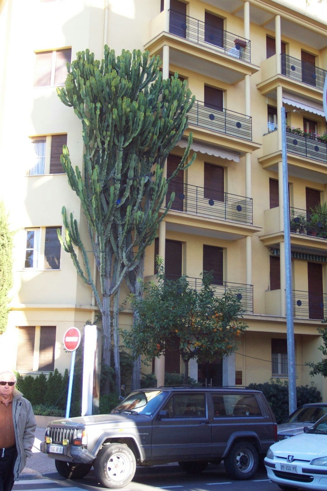 Euphorbia Ingens et Euphorbia candelabrum Hotel_10