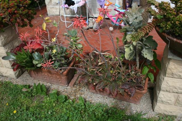 Aloes inconnu (de moi) Jardin15